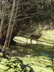 Deer, after just crossing the Stream, at Mountain Meadows!