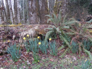 Newly, blooming daffodils, by the Cedar Grove.