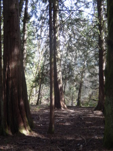 Grove of Cedars - some up to 25' in diameter and 125' tall...